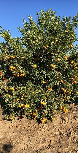 Adana Citrus About Us